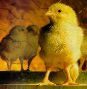 Granjas de Pollos